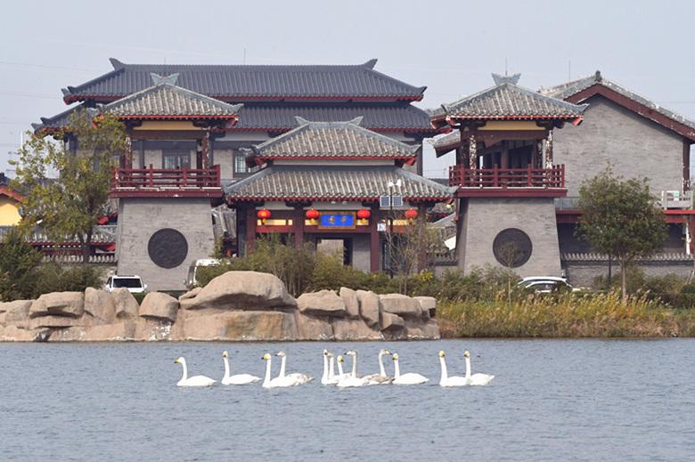 天鹅又到太子湖了欢迎摄影爱好者取景采风