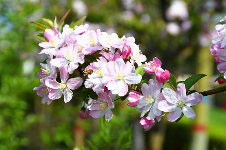 又见海棠花开